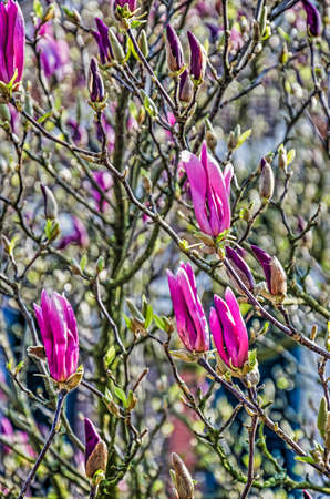 Magnolia bush in springtime with purple flowers about to open