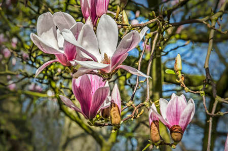 Close-up of several magnolia flowers, some more open than others, on a sunny day in springtime Stockfoto