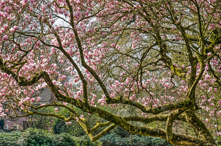 Part of a large magnolia tree with irregularly shaped branches in a public park on a sunny day in springtime Stockfoto