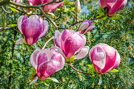 Close Up Of Four Large Opening Magnolia Flowers On A Sunny Day