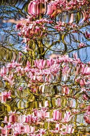 Several branches of a magnolia tree in springtime reflecting in the almost unruffled water of a pond Stockfoto