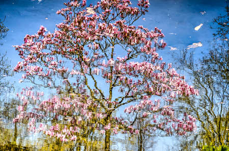 Reflection of a magnolia tree in springtime in the smooth water of a pond