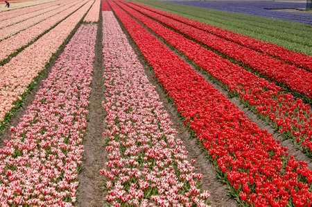 Field with strips of pink, red and blue tulips in springtime near Noordwijkerhout, The Netherlands, with a person in the distance for scale Stockfoto