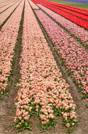 Image in portrait orientation with strips of pink and red tulips almost extending till the horizon in springtime near Noordwijkerhout, The Netherlands