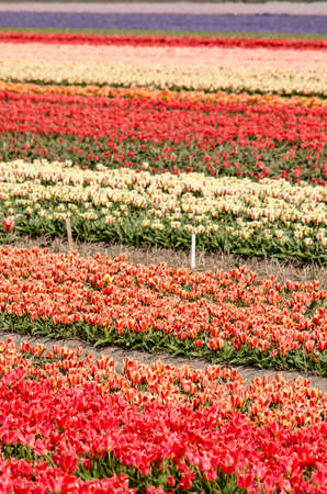 Flower field in springtime near Noordwijkerhout, The Netherlands with bands in many different colors