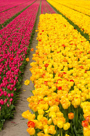 flower field in springtime near Noordwijkerhout, The Netherlands, with strips of purplish red tulips and yellow tulips with some red and orange Stockfoto