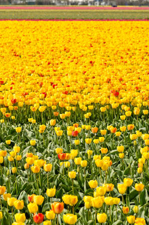 Flower field in springtime near Noordwijkerhout, The Netherlands with mainly yellow and some red and orange tulips