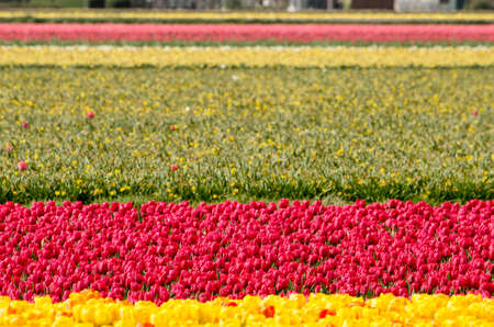 Tulip field in springtime near Noordwijkerhout, The Netherlands with horzintal bands of yellow, purplish red, green and pink