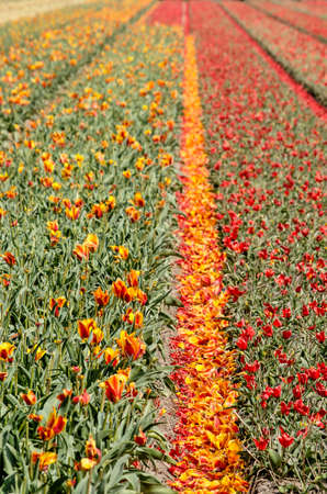 Field with red and yellow tulips in springtime near Noordwijkerhout, The Netherlands with fallen petals in the furrow between the flower strips