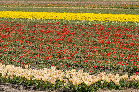 Field with strips of white, red and yellow tulips in springtime near Noordwijkerhout, The Netherlands