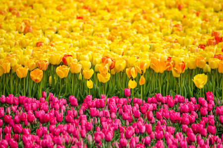 Two strips of tulips, one yellow with some red and orange, the other reddish purple in a field near Noordwijkerhout, The Netherlands Stockfoto