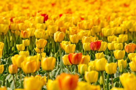 Close-up of a flower field near Noordwijkerhout, The Netherlands, with yellow tulips and some reddish orange accents Stockfoto