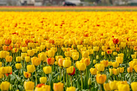 close-up of a field of yellow tulips with red and orange accents with other colors blurred in the background, near Noordwijkerhout, The Netherlands