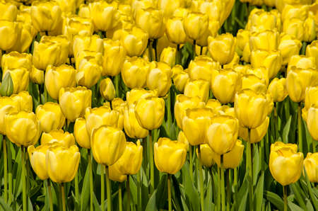 Close up of yellow tulips in springtime in a field near Noordwijkerhout, The Netherlands