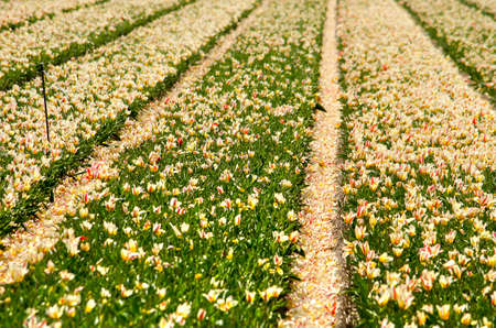 Flower field with bands of tulips of which most petals have ended up in the furrows between the strips Imagens