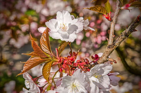 Close up of a branch of a prunus tree with young leaves, red buds and white blossom on a sunny day in springtime Stockfoto