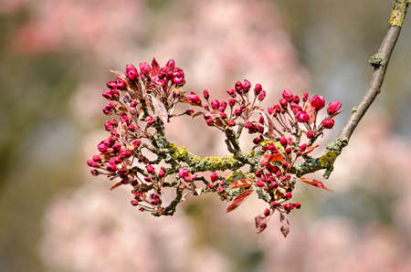 Branch of a prunus tree in bright sunlight with red buds about to blossom against a background with soft pink bokeh Stockfoto