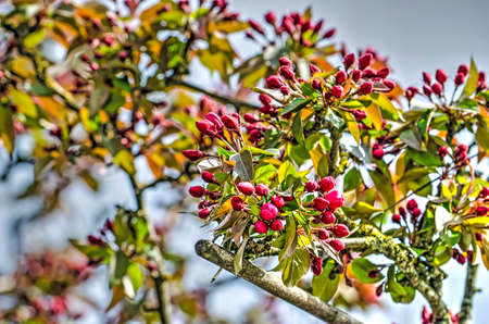 Branches of a prunus tree with red blossom about to open against a blue sky on a sunny day in April
