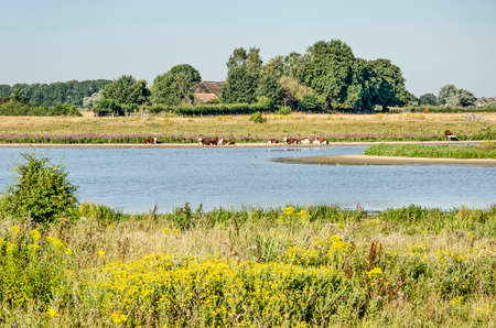 View across the floodplains at Vreugerijkerwaard nature reserve near Zwolle, the Netherlands, with river channels, sunbathing cows and a farms