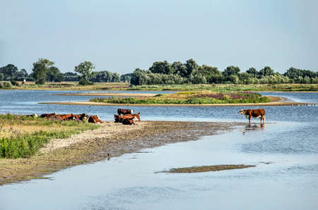 View along the new river channels at Vreugerijkerwaard nature reserve near Zwolle, the Netherlands with cows standing or sunbathing at the sandy beaches
