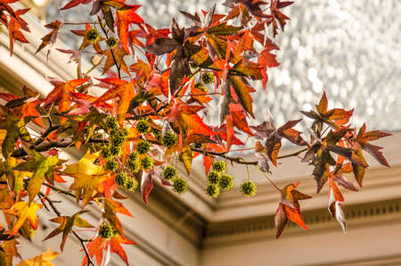 Zwolle, The Netherlands, November 9, 2019: Colorful star-shaped leaves and spiky fruits of a sweet gum tree, with the Fundatie museum blurred in the background Editorial