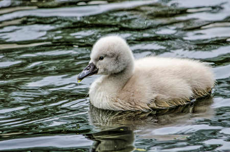 Young swan swimming in a pond in springtime with a drop of water at its beak Editorial