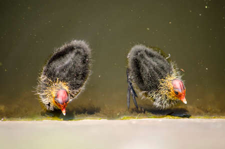Two young coots swimming in a canal and inspecting the quay wall for food Editorial