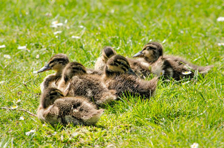 Six young ducks sunbathing and sleeping in the grass in springtime Editorial