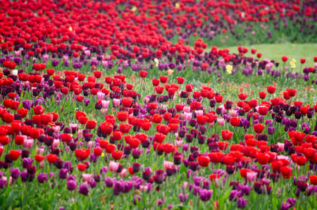 Large flower bed with red and purple tulips in a park in Rotterdam, The Netherlands in springtime