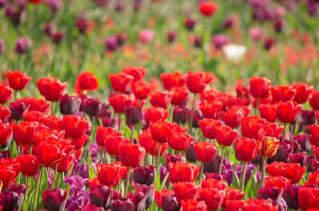 Group of red as well as some purple tulips in a flower bed in a park in Rotterdam Editorial