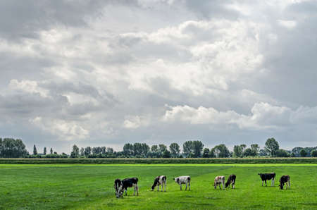 Group of frisian cows grazing on a green meadow in Mastenbroek polder near Zwolle, The Netherlands under a sky with dramatic clouds