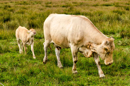 Young light-colored cow following a bull in a landscape with tall grass and other vegetation near Hoogeveen, The Netherlands