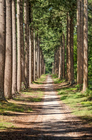 Long and straight, narrow sandy footpath between tall pine trees, in the Veluwe region near Elburg, The Netherlands