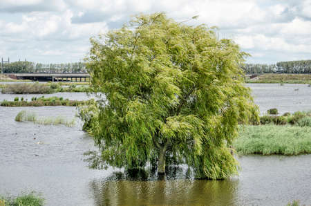 Drowned willow tree, already and other vegetation in the new Reevediep river channel near Kampen, the Netherlands 免版税图像