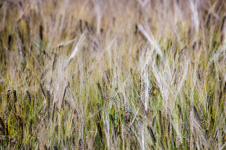 Close-up of a field of barley