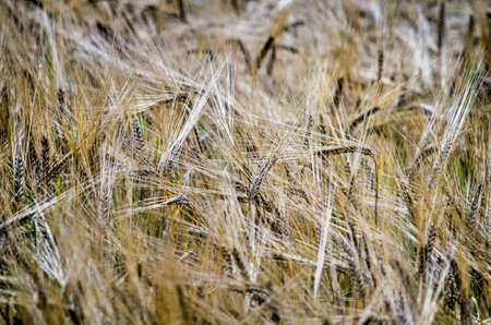 Close-up of a field of barley in summer with ears in a seemingly random pattern