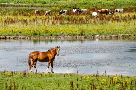 Vreugerijkerwaard nature reserve near Zwolle, The Netherlands with a horse, a group of cows and several waterbirds 免版税图像
