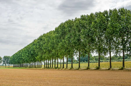 Traditional Dutch polder landscape near Dordrecht, The Netherlands, with a dike, a row of tall trees and a field of recently harvested wheat 免版税图像