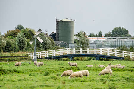 Berkel en Rodenrijs, The Netherlands, August 29, 2020: polder landscape in Groenezoom recreation area with sheep, a windmill, a pedestrian bridge and greenhouses