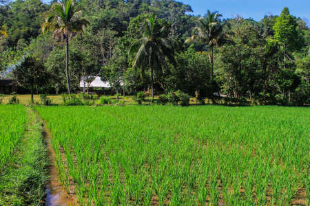 Rice field at countryside