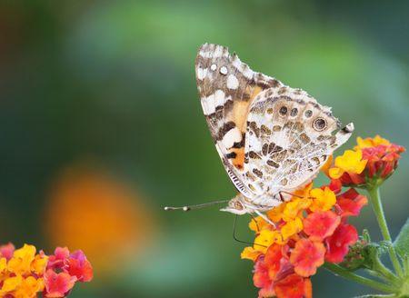 a beautiful brown butterfly feeding on a lantana plant Stock Photo - 5414536