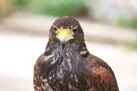 portrait of a beautiful brown falcon bird isolated Stock Photo