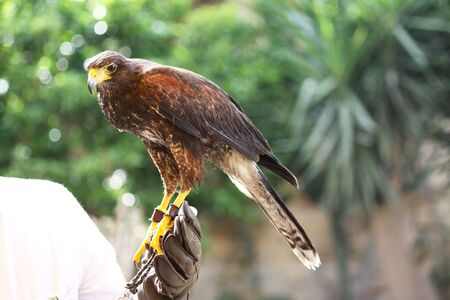 a brown falcon bird of prey perched on a hand covered in thick gloves Stock Photo
