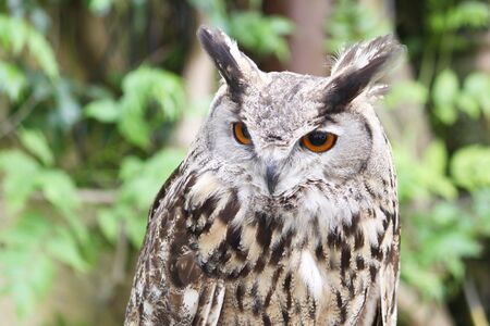 portrait of an eagle owl isolated on a greenish background photo