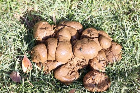 shit: a pile of donkey shit on grass