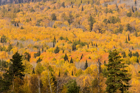treetops: Yellow autumn forest with treetops