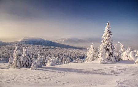 snowfield: Landscape with untouched snowfield and snowbound tree
