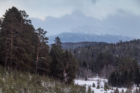 snows: snowy spruce forest and cloudy sky in the middle of winter