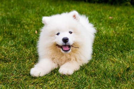Happy samoyed puppy Standard-Bild