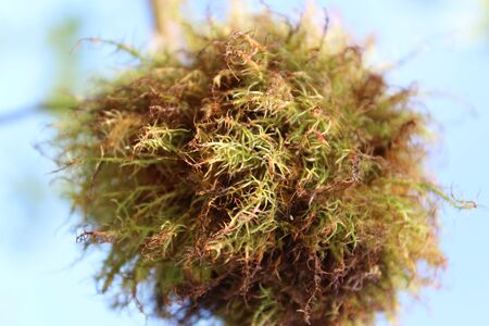 hawkweed: Moss Stock Photo